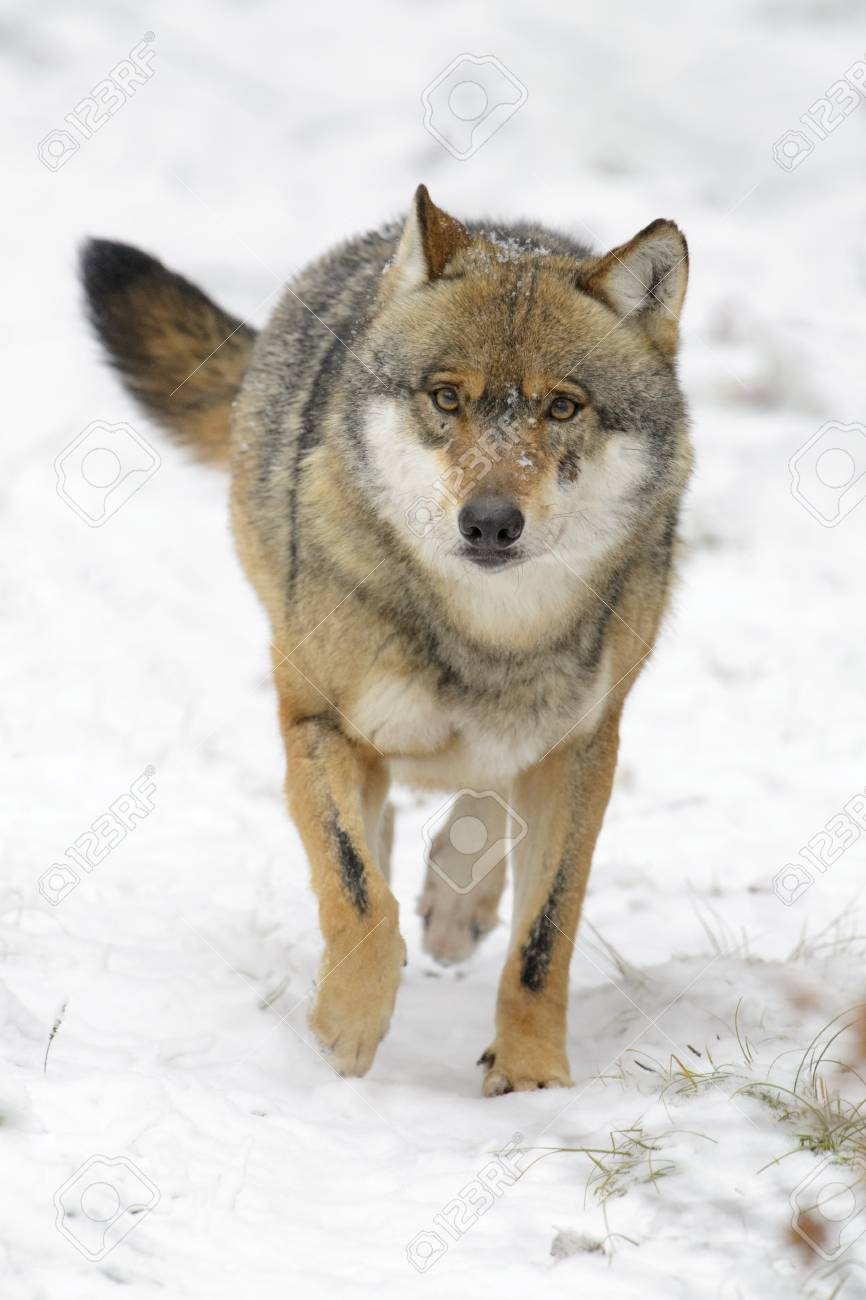 Wolf Germany eurasian wolf canis lupus lupus running towards