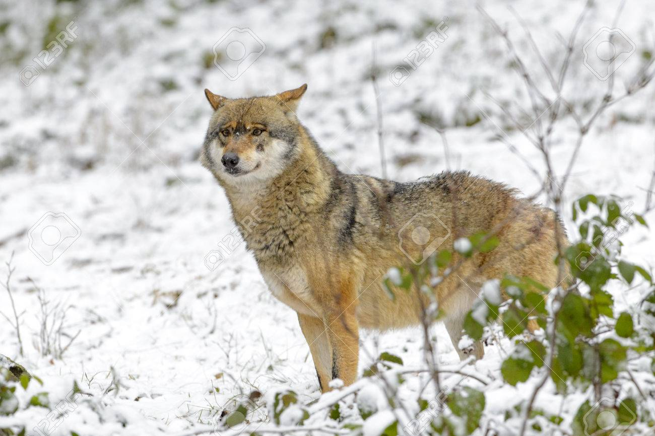 Wolf Germany eurasian wolf canis lupus lupus standing in the forest