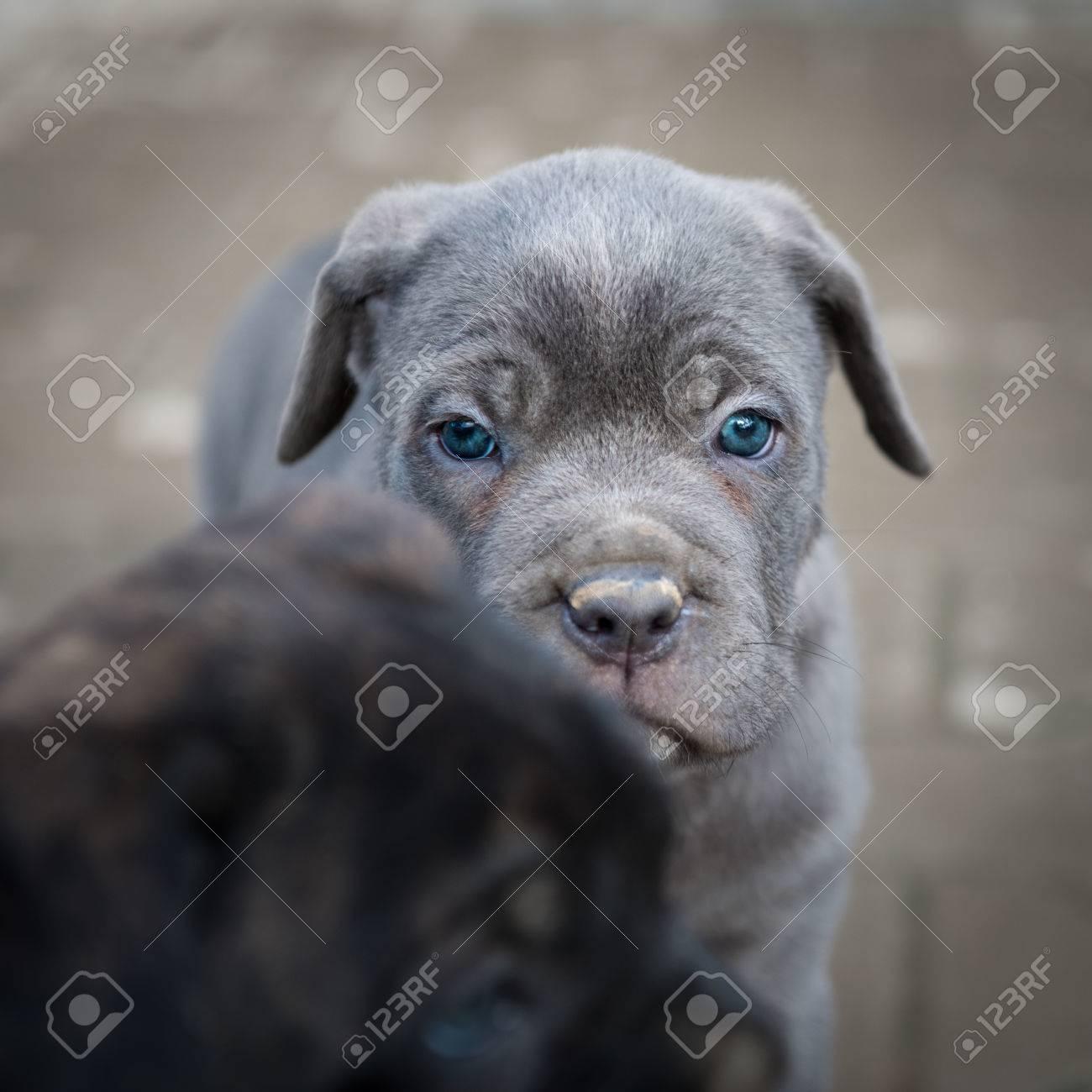 Black and grey Neapolitan Mastiff puppies