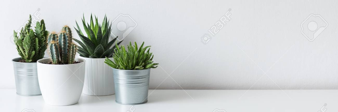 Collection of various cactus and succulent plants in different pots. Potted cactus house plants on white shelf against white wall. - 97599357