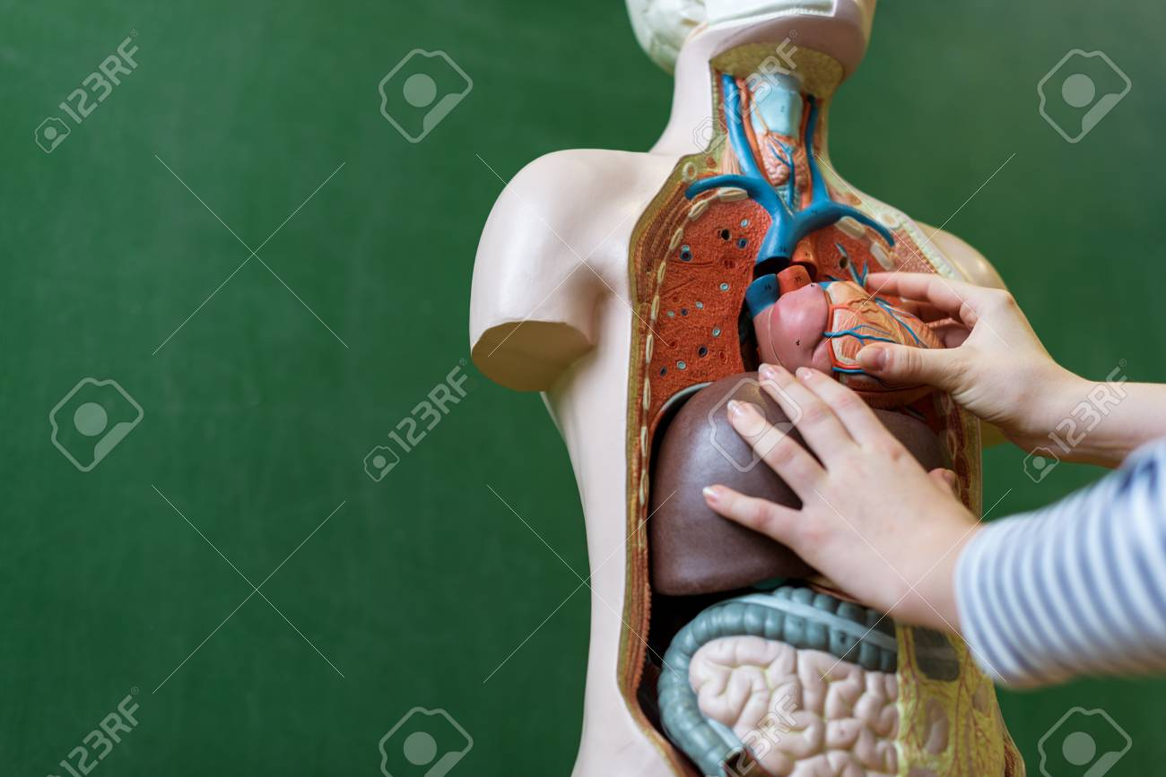 Close Up Of A High School Student Learning Anatomy In Biology ...