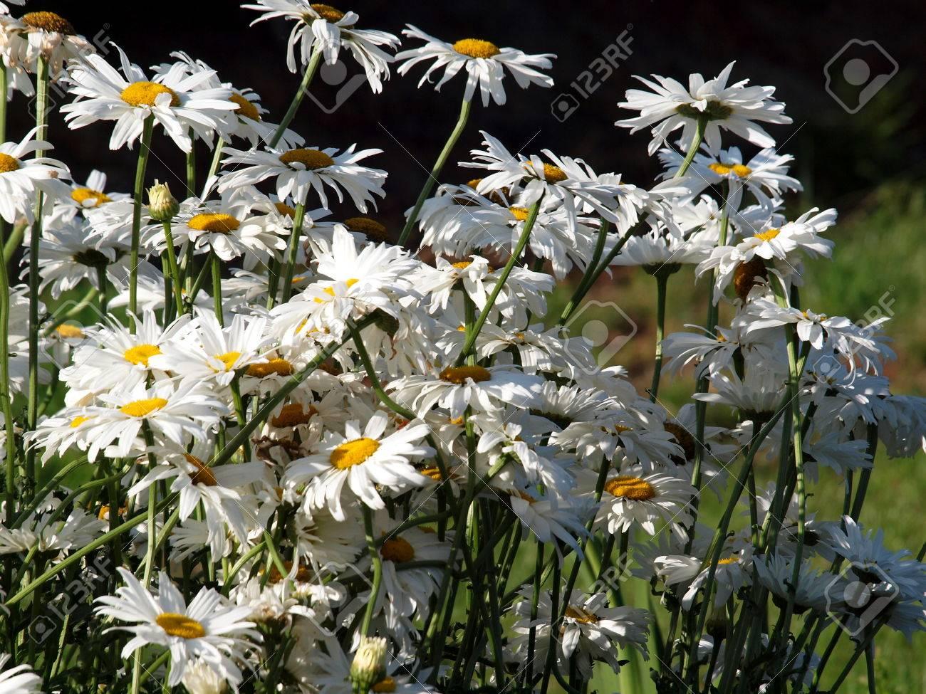 Mararitten Blumen Pflanzen Natur Garten Sommer Flora Stock