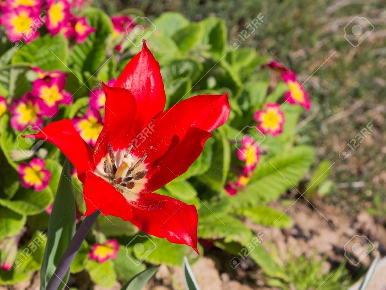 Variétés De Lys De Fleurs De Tulipes Rouges Vives Révélées Au Soleil ...