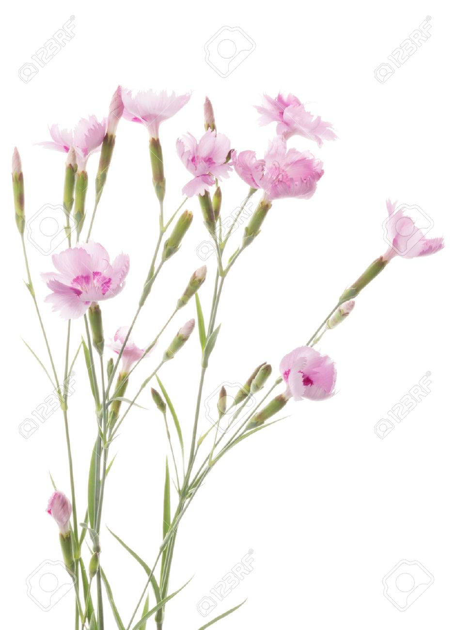 Bouquet Of Beautiful Pink Flowers Wild Carnation On A Thin Long