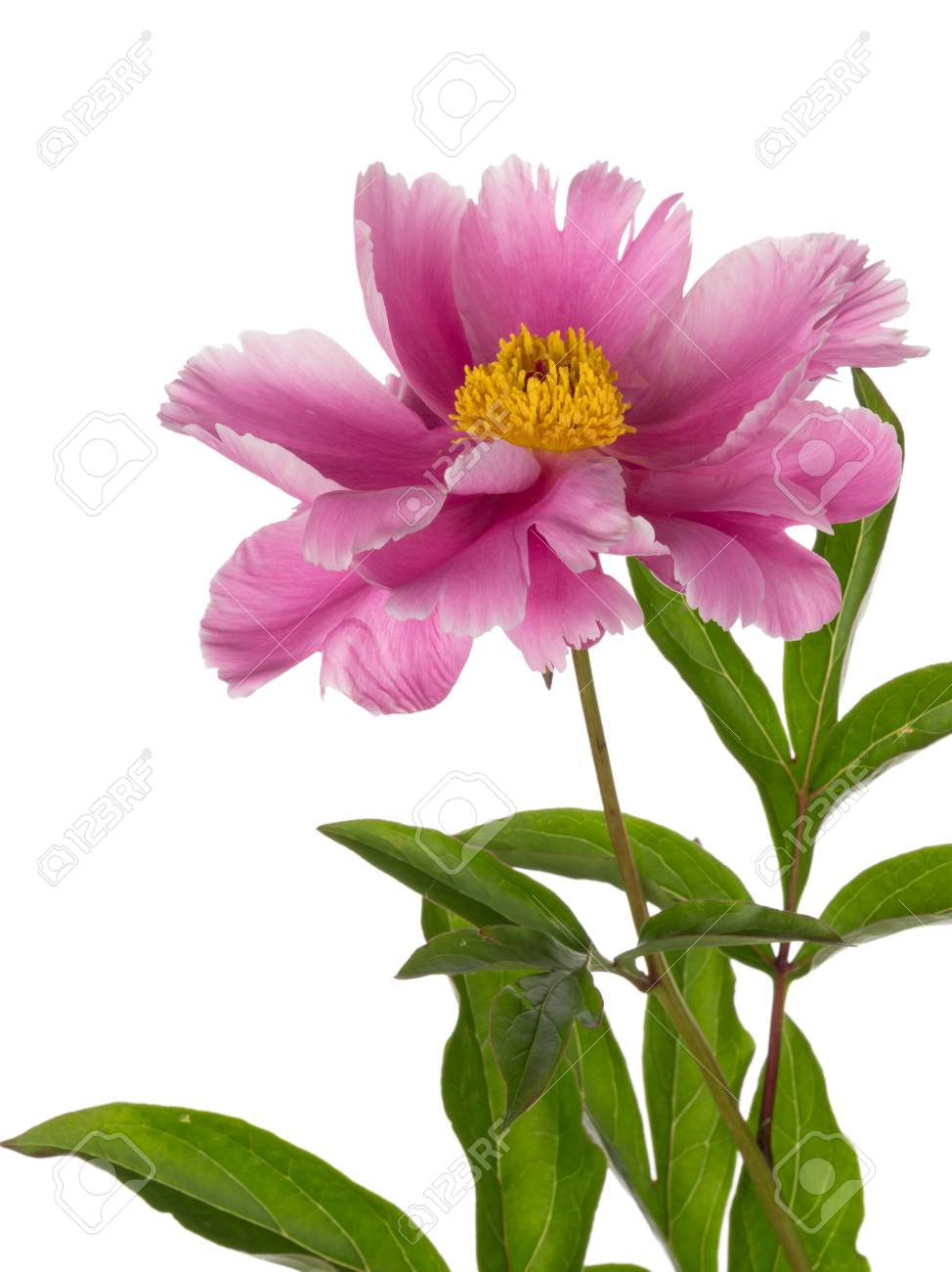 Delicate Pink Flower Garden Peony With A Yellow Center And A Stock