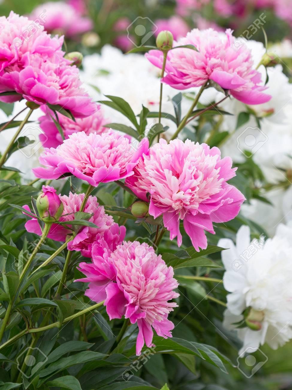 Schöne Blumen Pfingstrosen Garten Mit Leuchtend Rosa Und Weißen