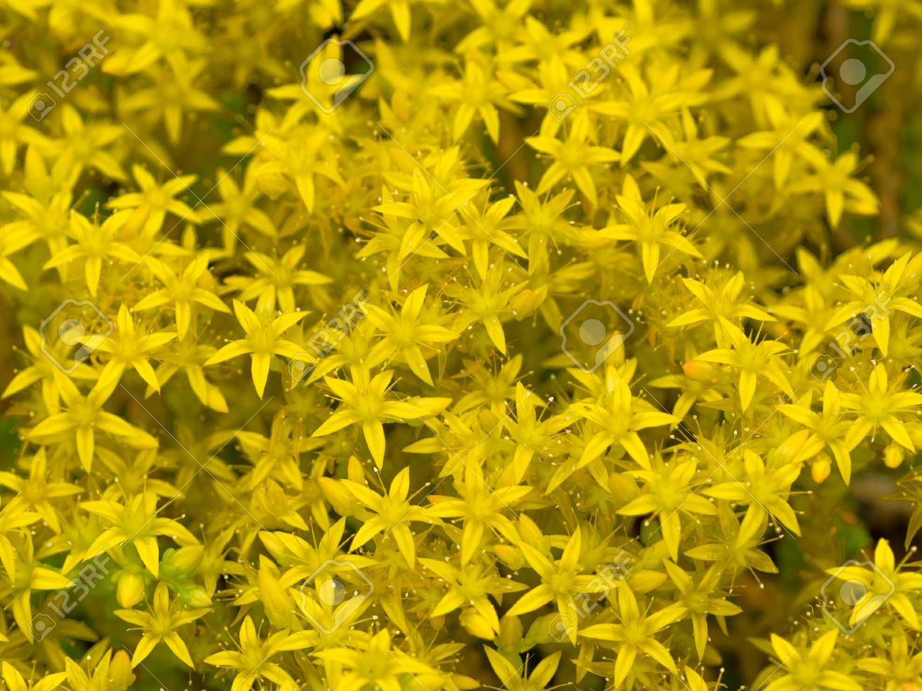 Beautiful bright yellow flowers groundcover stonecrop varieties beautiful bright yellow flowers groundcover stonecrop varieties sultan in the garden on a summer morning stock mightylinksfo