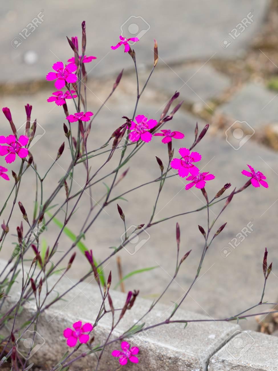 Petites fleurs odorantes lumineux ?illet sauvage violet-rose dans le jardin  un matin d\'été sur le fond du trottoir et de la passerelle en pierre