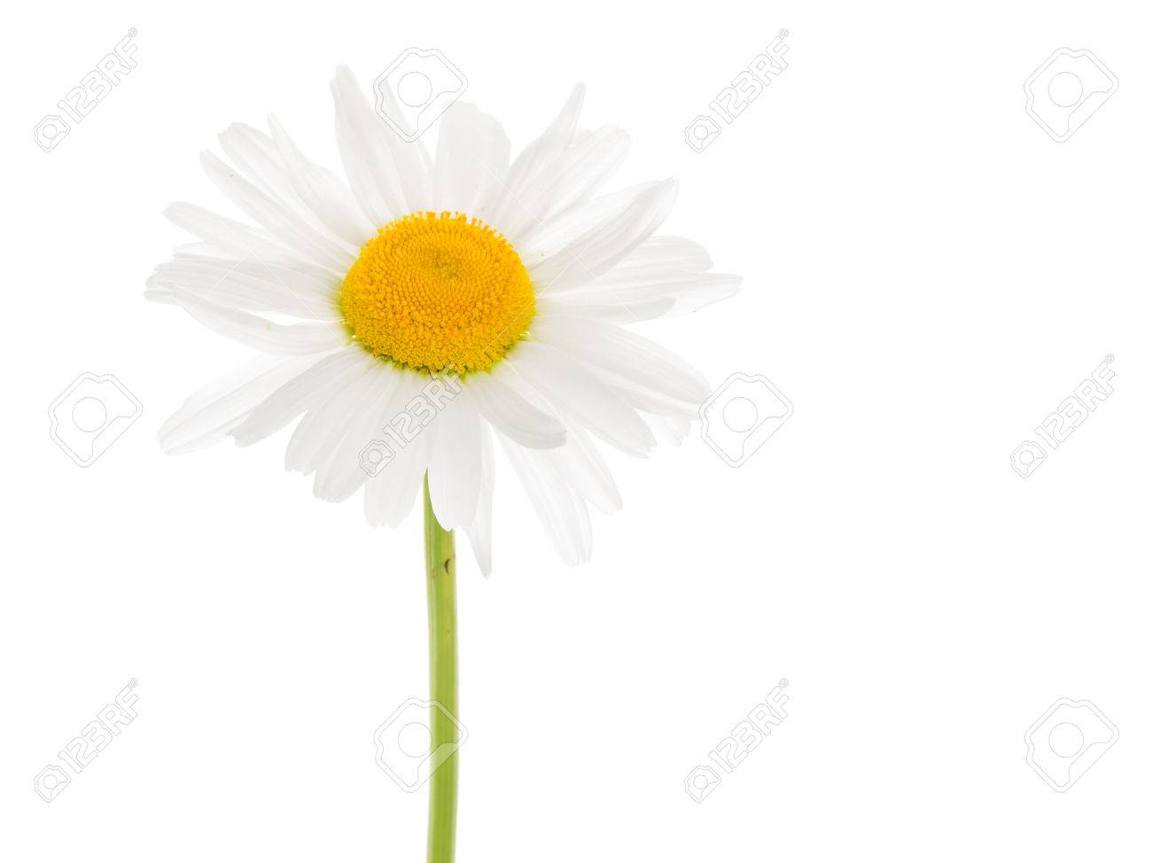 Delicate white flower daisy with a yellow center on a thin curved delicate white flower daisy with a yellow center on a thin curved long green stem mightylinksfo