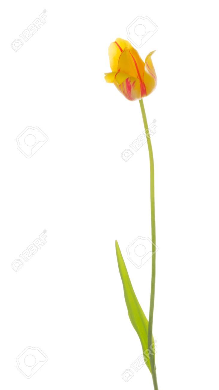 Jaune Lumineux Belle Fleur De Tulipe Rouge Sur Une Fine Tige Verte