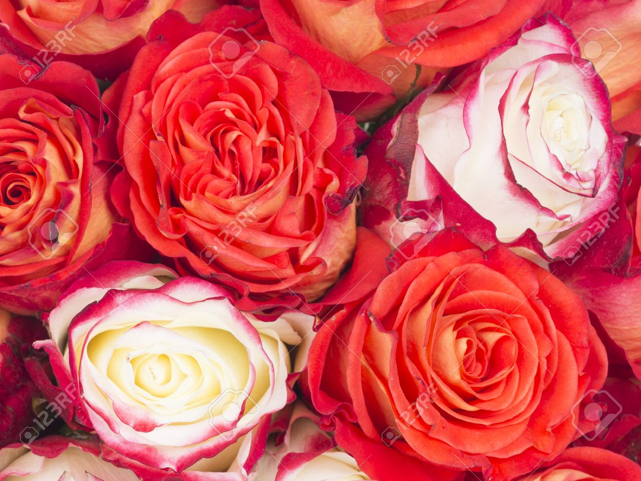 Bouquet of flowers roses beautiful bright red and white with bouquet of flowers roses beautiful bright red and white with a pink border on petals izmirmasajfo