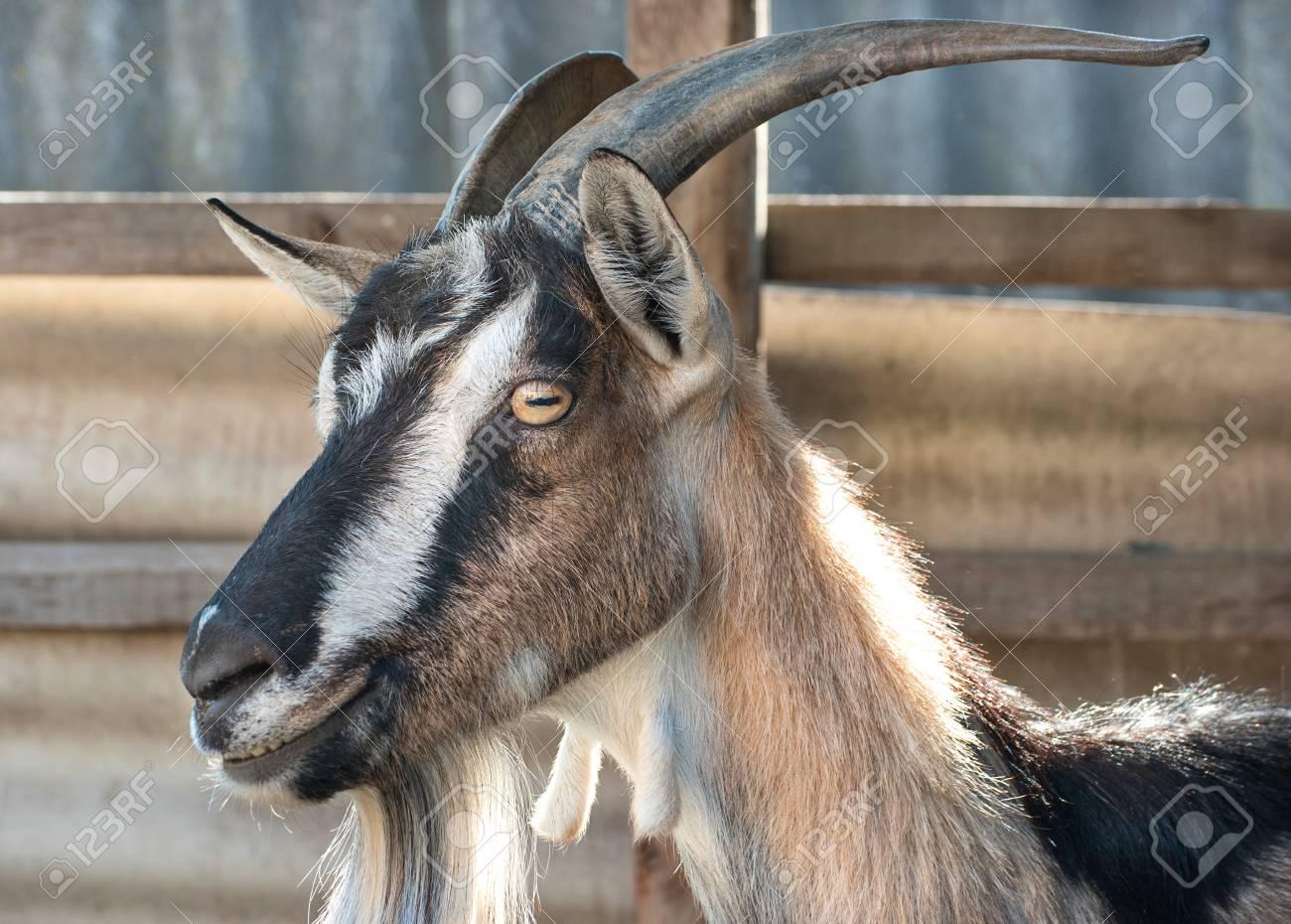 Portrait of a beautiful Alpine goat breed closeup