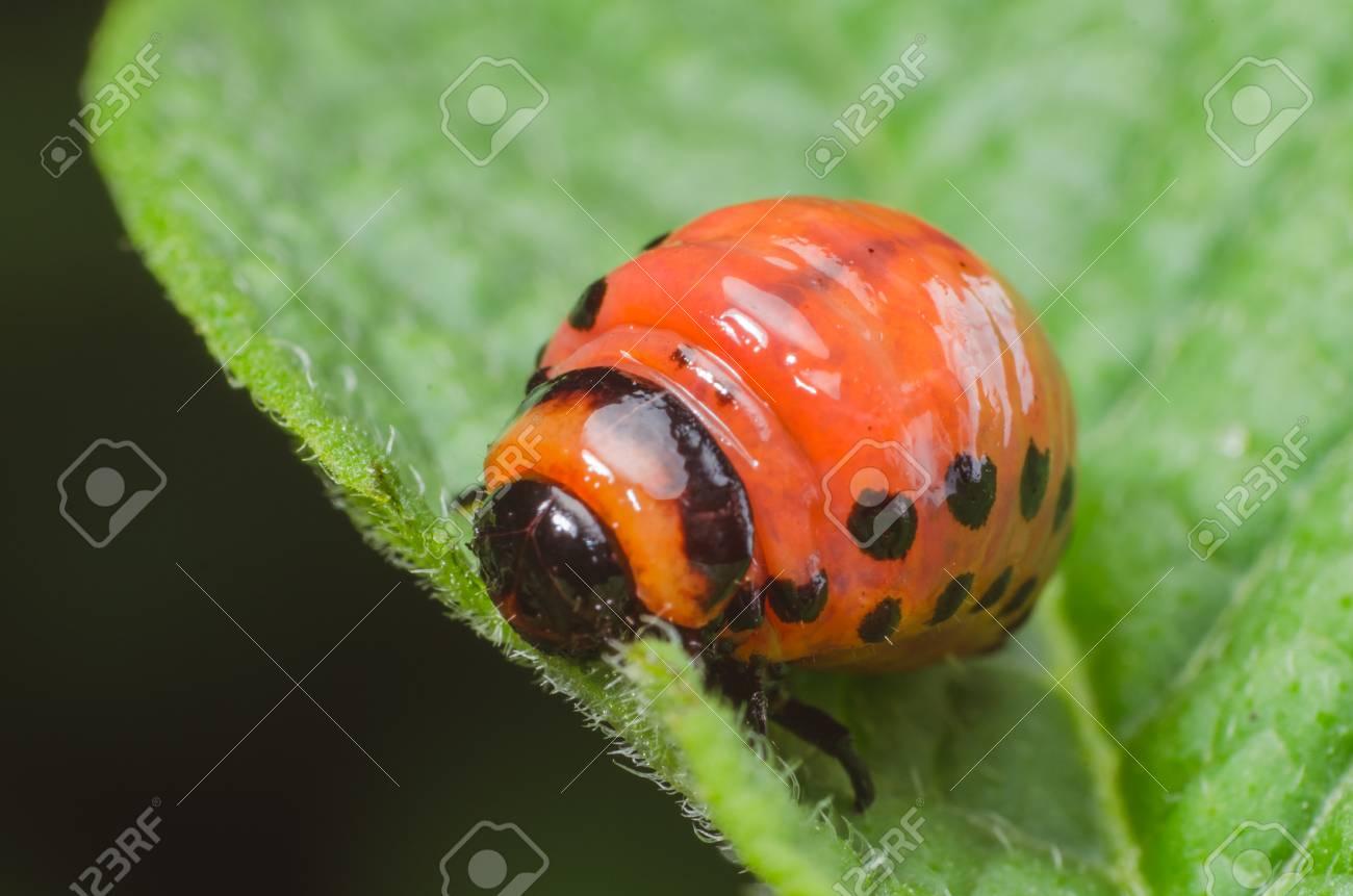 コロラドハムシ