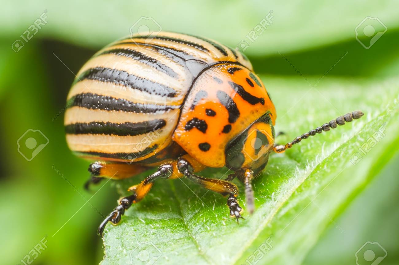 Colorado potato beetle eats potato leaves, close-up. - 83172256