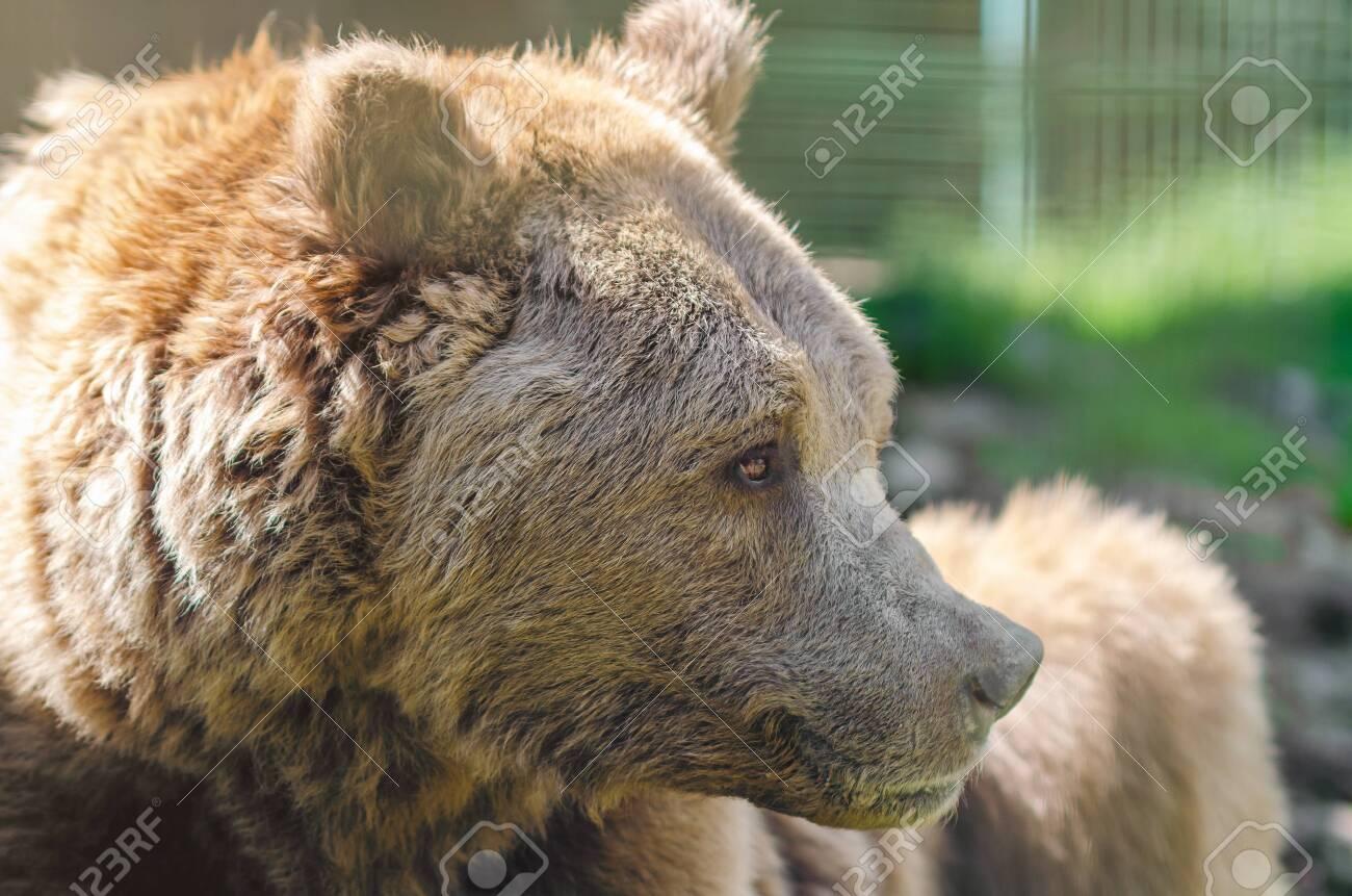 Portrait of an old brown bear, a predatory beast. - 131207491