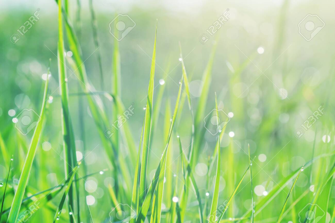 Fresh green grass with dew drops in the early morning sunlight, background texture. - 138643871