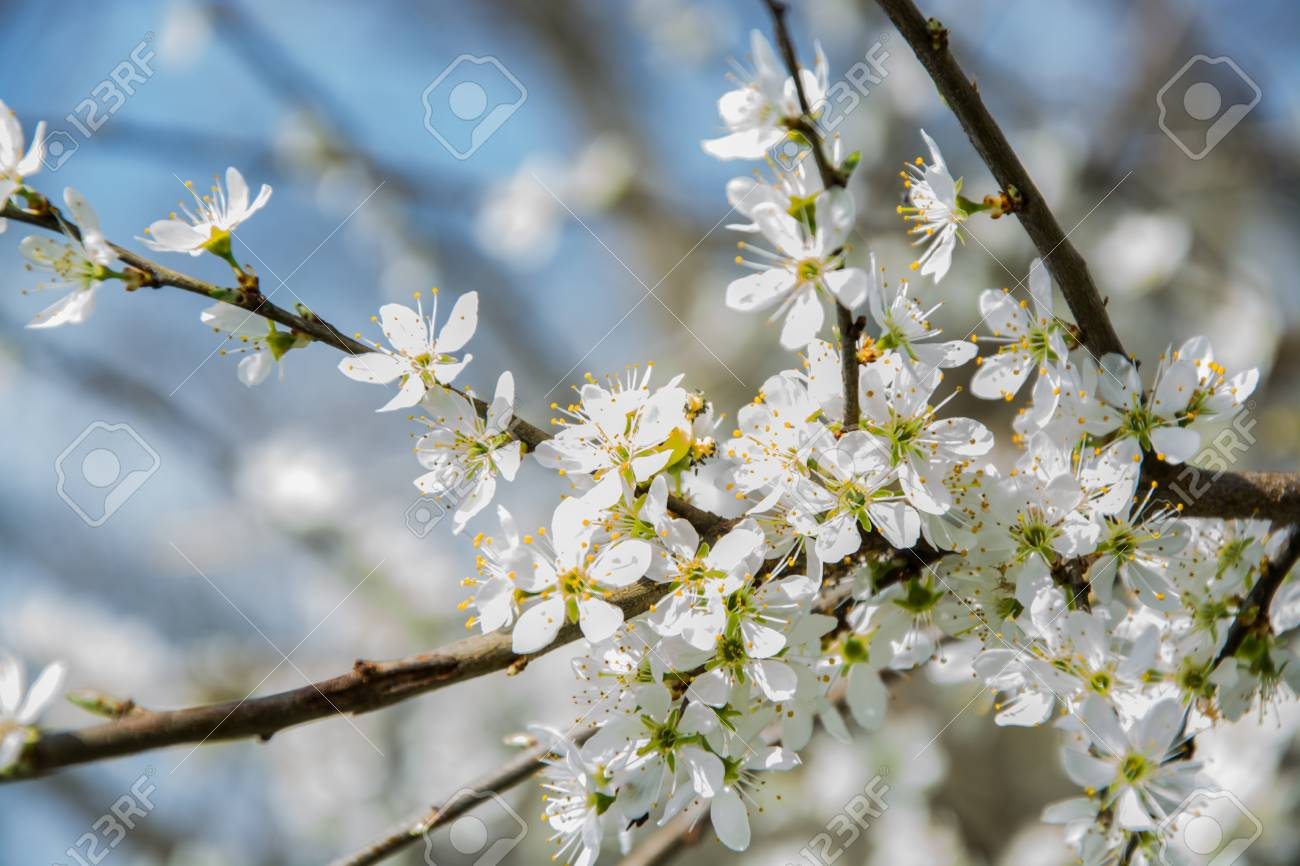 Clouseup of white plum flower spring blossom stock photo picture clouseup of white plum flower spring blossom stock photo 74500677 mightylinksfo