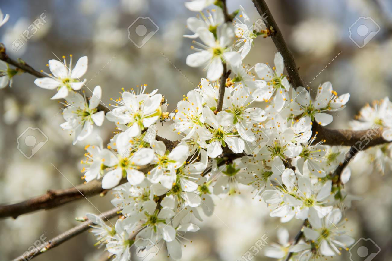 Clouseup Of White Plum Flower Spring Blossom Stock Photo Picture