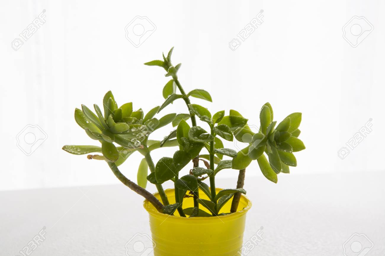 Decorative Home Plants And Flowers For Interior Or Balcony