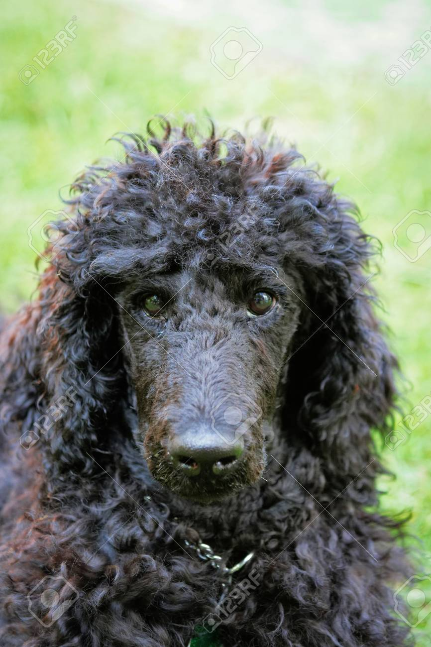 A Portrait Of A Cute Black Poodle Puppy With Expressive Eyes Stock Photo Picture And Royalty Free Image Image 43873719