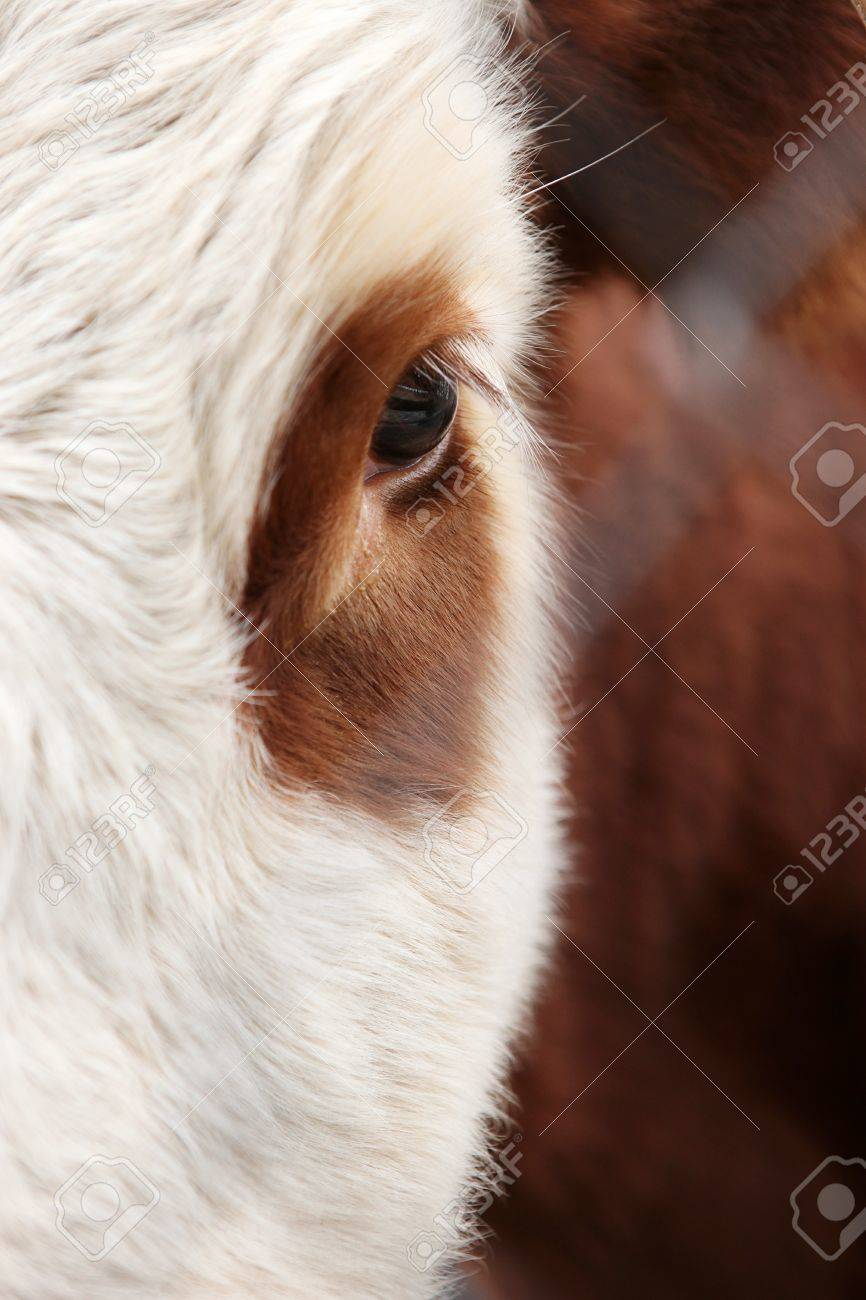Large Eyes With Eyelashes A Cow And Bull Stock Photo Picture And