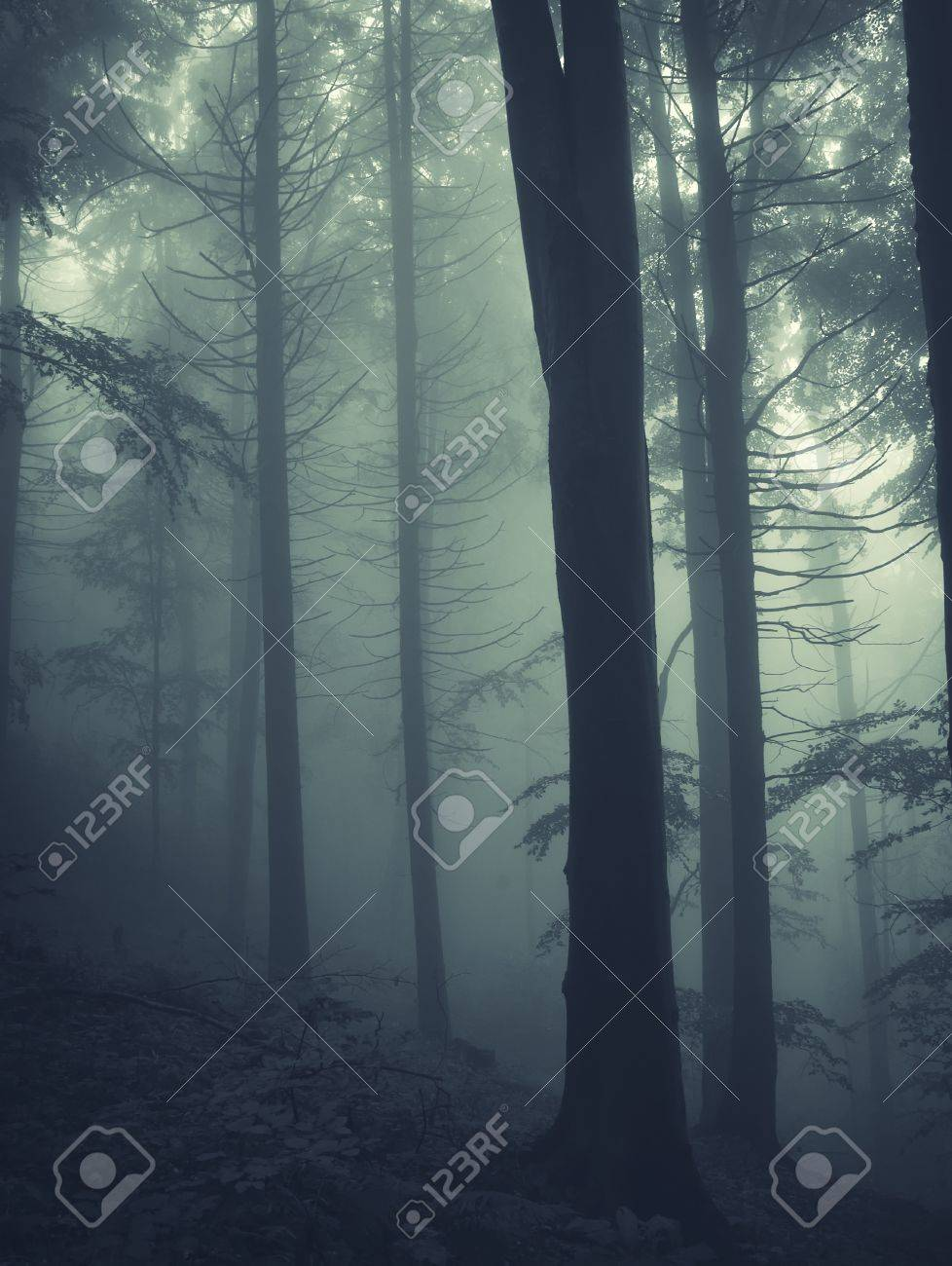 vertical photo of pine trees in a forest with fog Stock Photo - 13078487