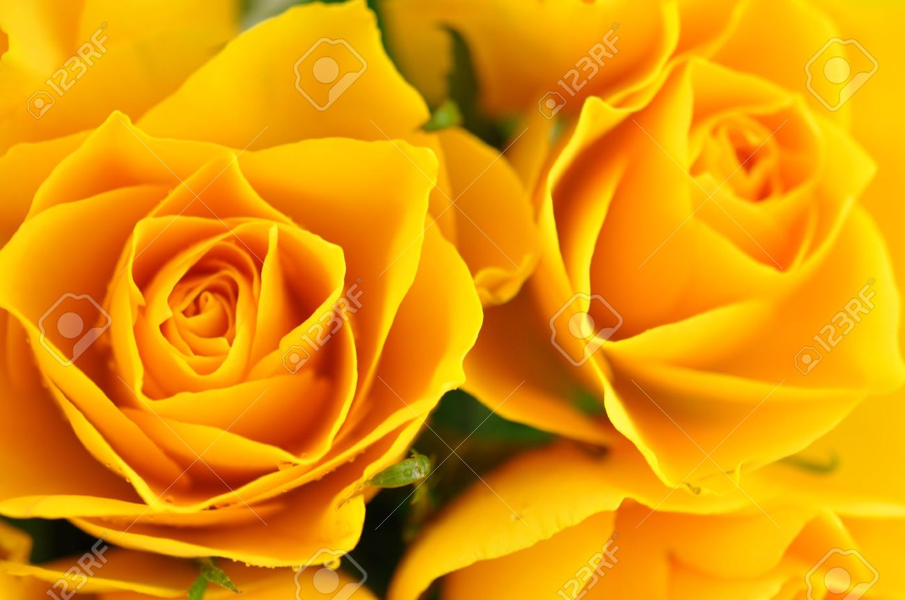 Yellow roses in full frame Stock Photo - 8965622