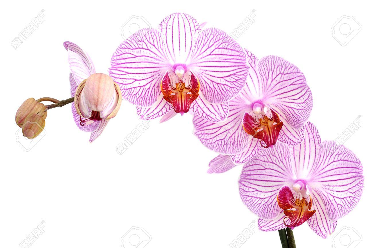 Foto de archivo , Orquídeas rosadas, aisladas sobre fondo blanco