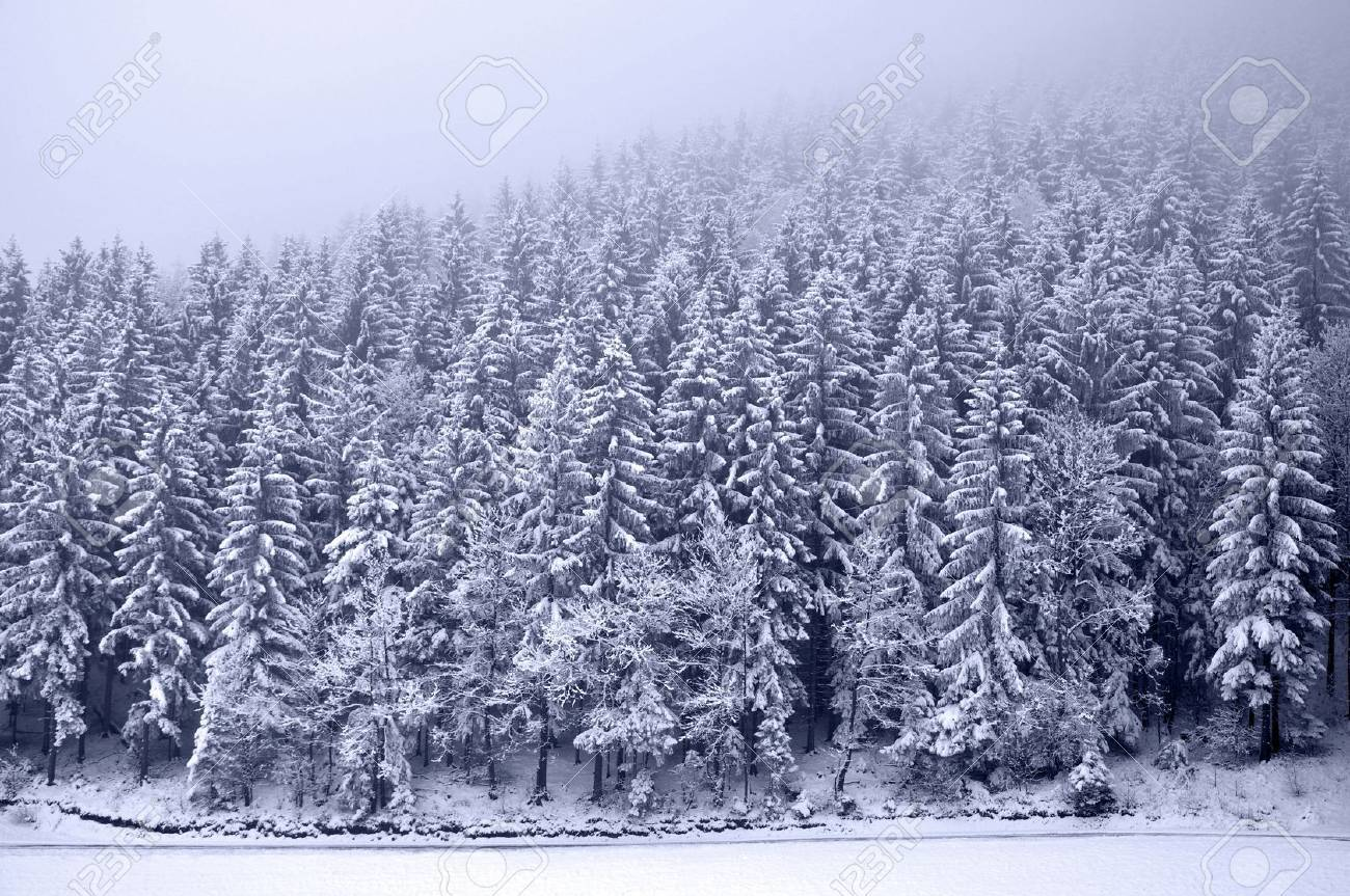 Pine Trees in Winter Pictures Pine Tree Forest in Winter