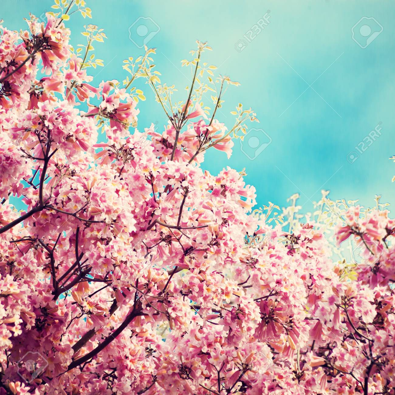 Tree With Pink Flowers In Spring Stock Photo Picture And Royalty