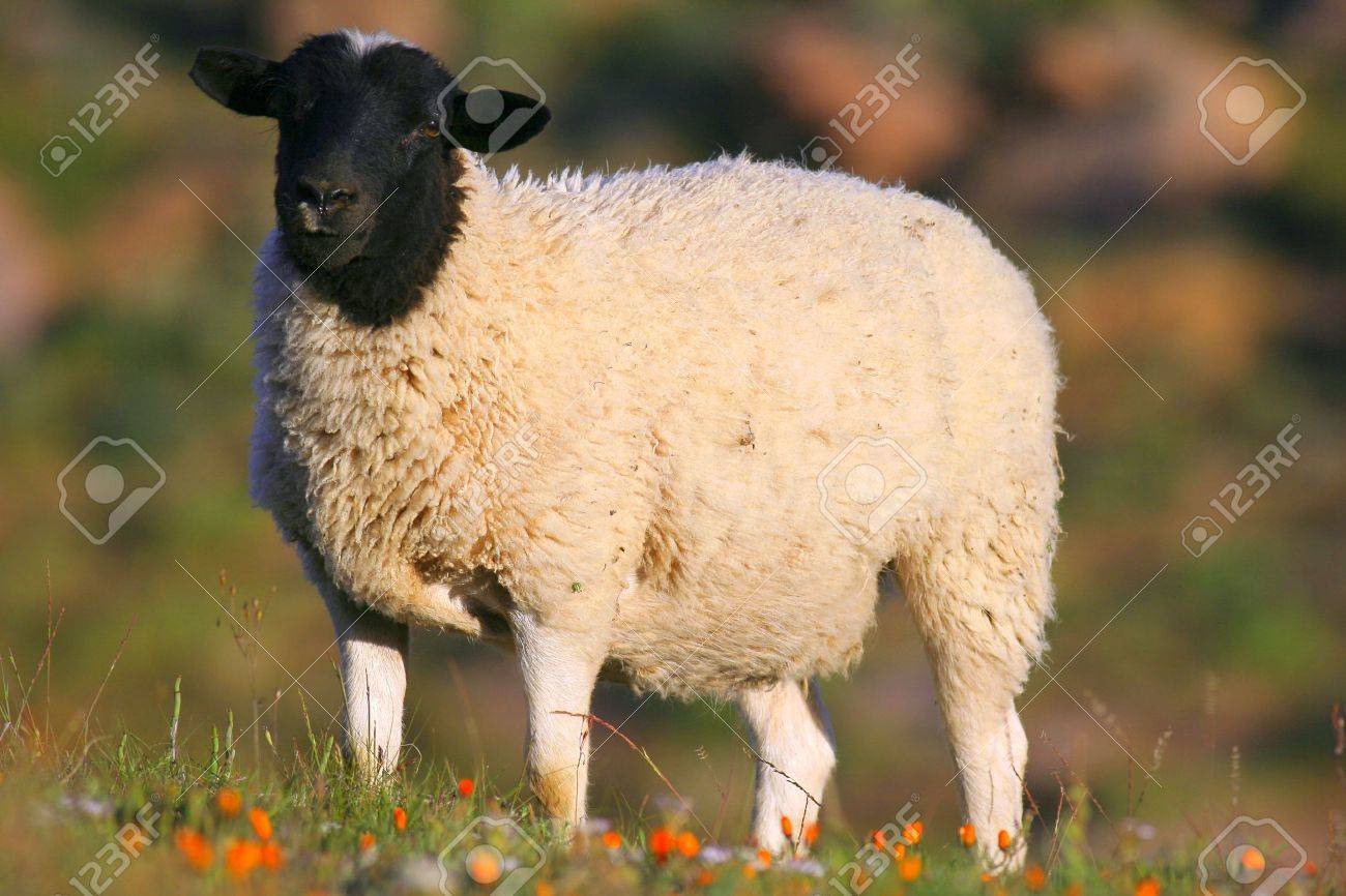Dorper sheep in south africa Stock Photo - 6741613