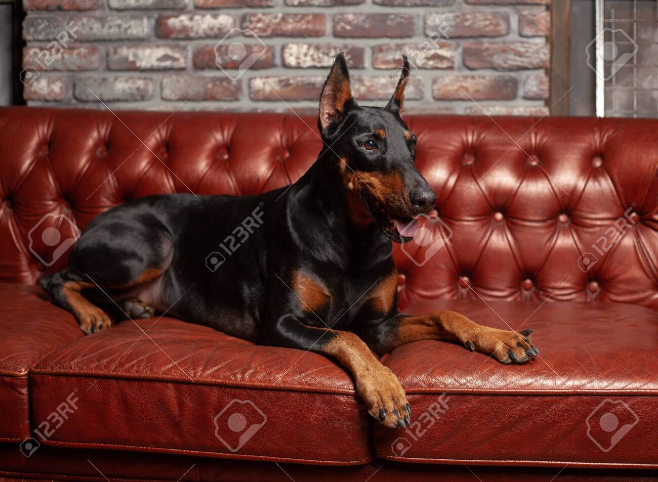 Doberman Pinscher Dog On A Brown Background Dog Lies On The Stock Photo Picture And Royalty Free Image Image 121436962