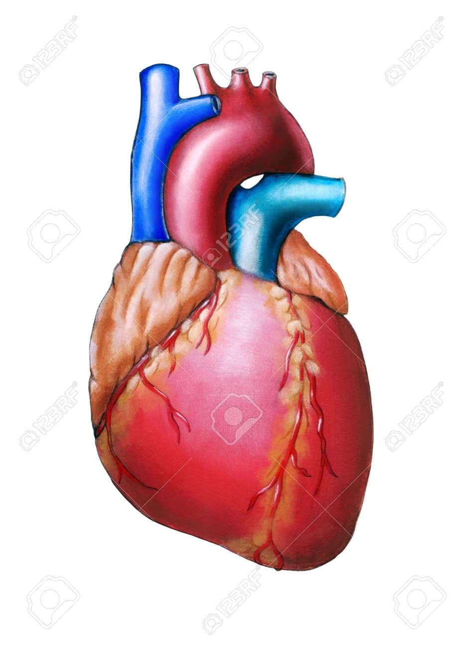 Anatomía Del Corazón Humano Original Pintado A Mano Ilustración