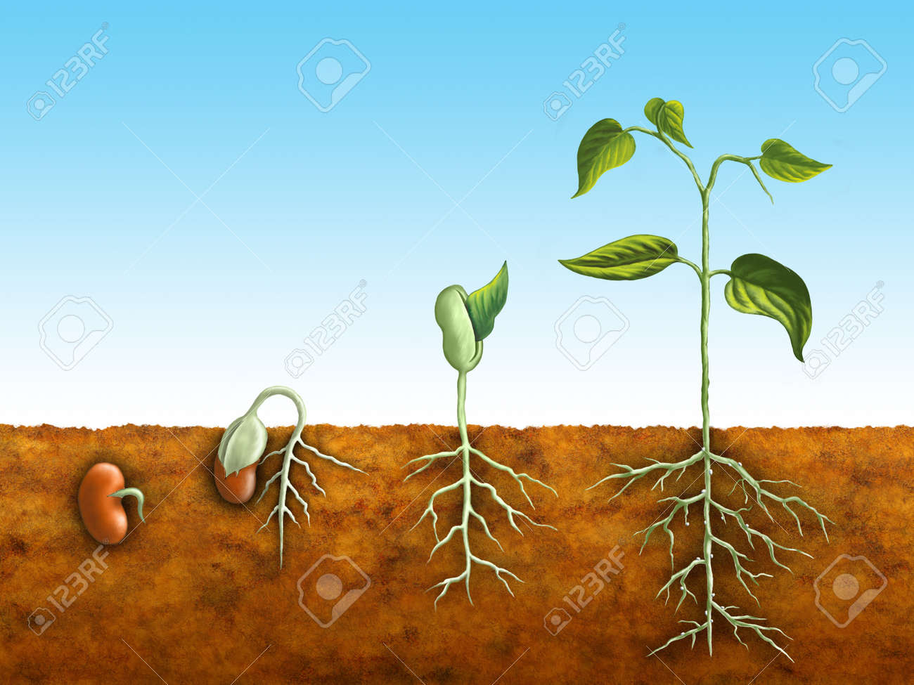 The germination process of a bean plant. Digital illustration. Stock Photo - 4581769