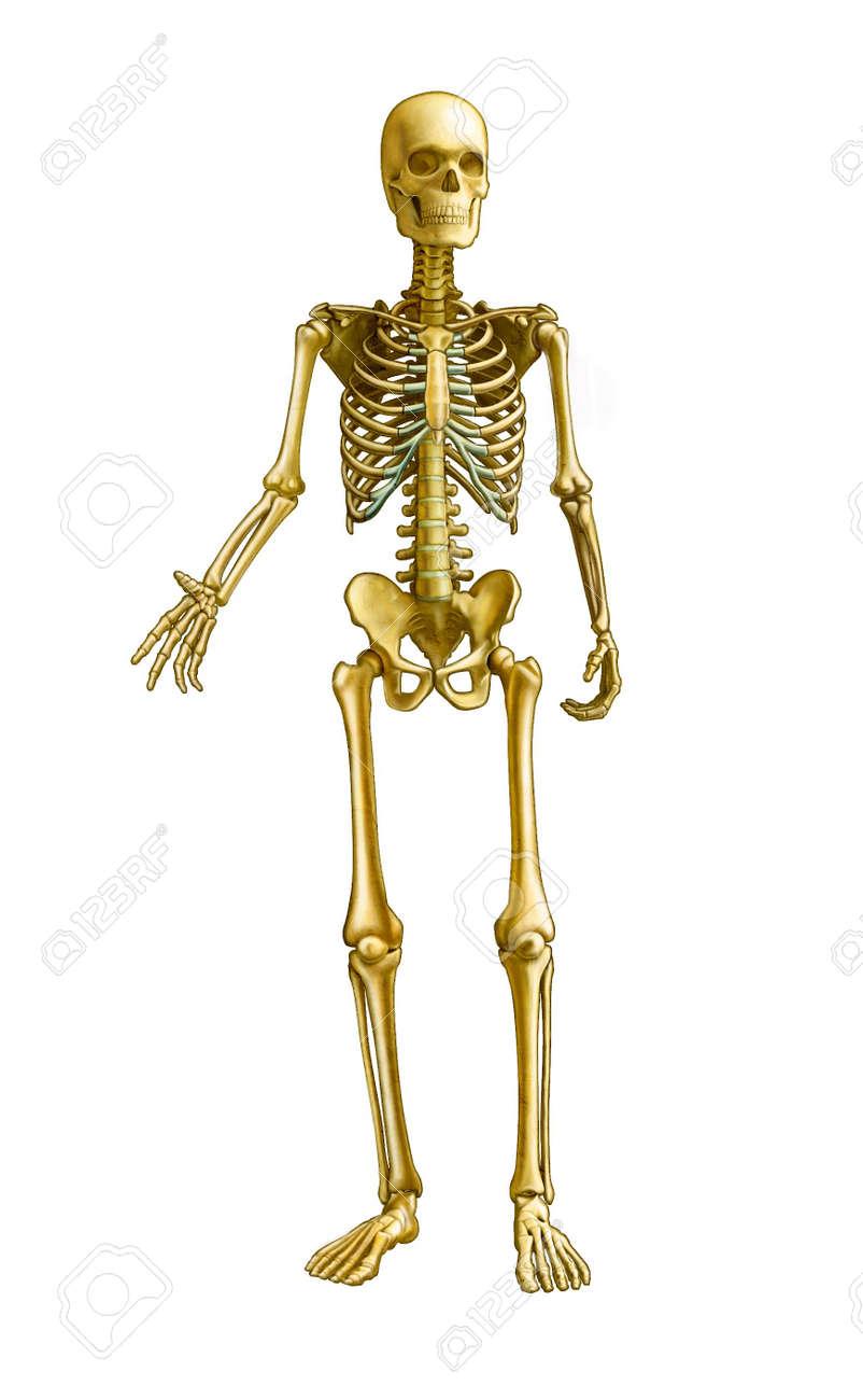Berühmt Menschliches Skelett Detailliert Fotos - Anatomie Ideen ...