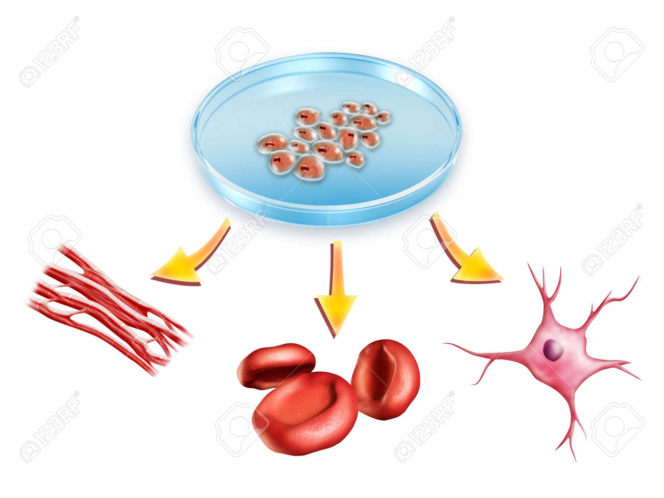 Pluripotent stem cells used to generate muscle, blood and neural cells. Digital illustration. Stock Photo - 6894029
