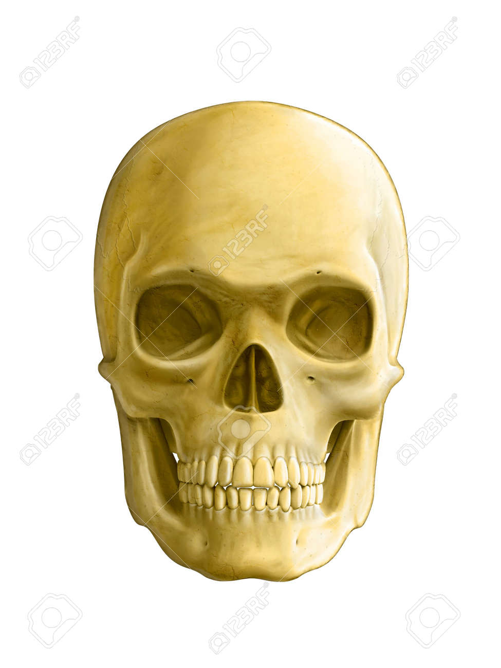 Human Skull Front View Digital Illustration Stock Photo Picture