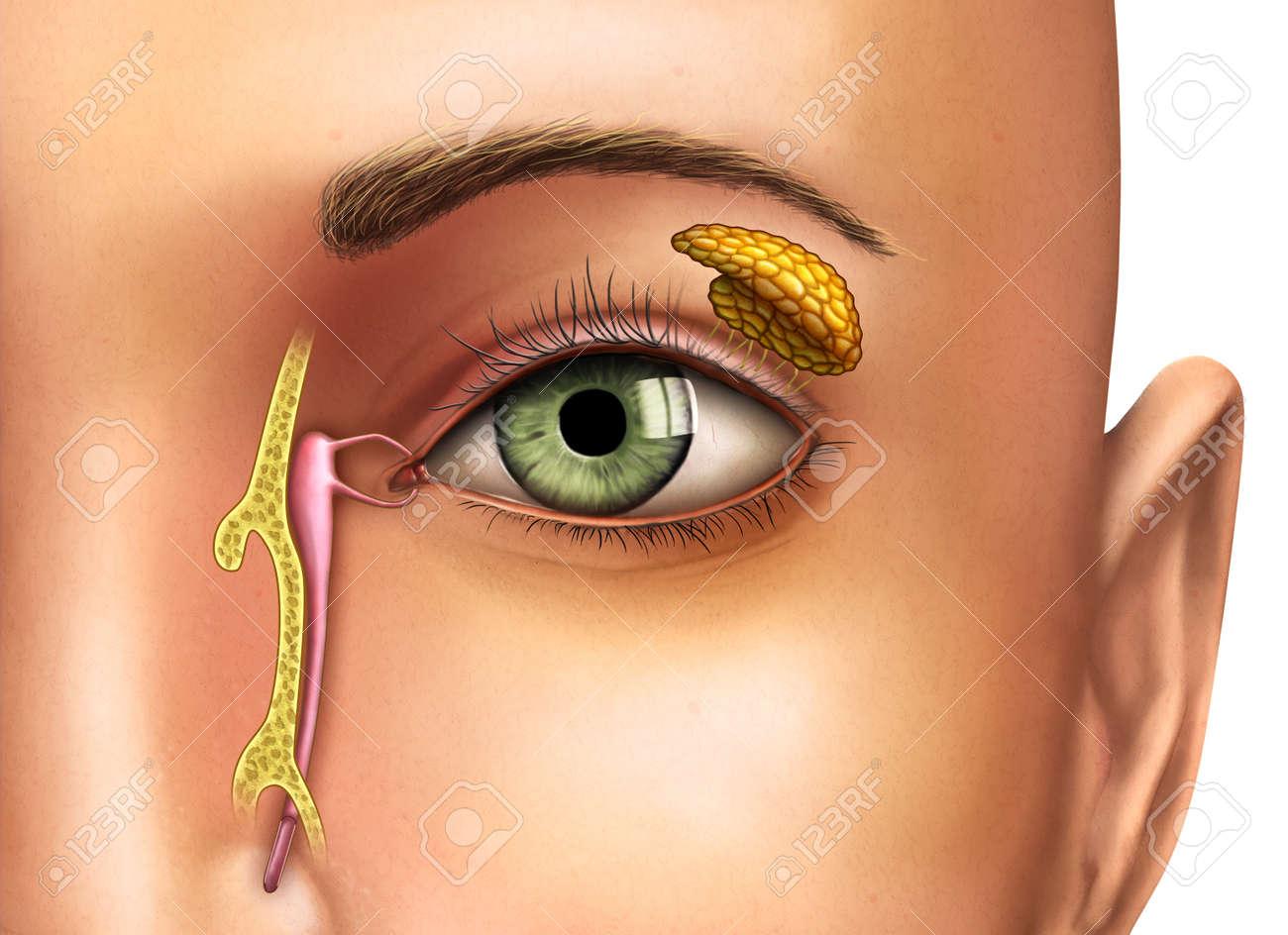 Anatomía Dibujo Que Muestra El Funcionamiento De Las Glándulas ...