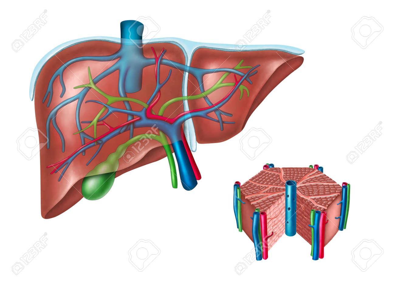 Hígado Humano Y Diagrama De La Célula Hepática. Ilustración Digital ...
