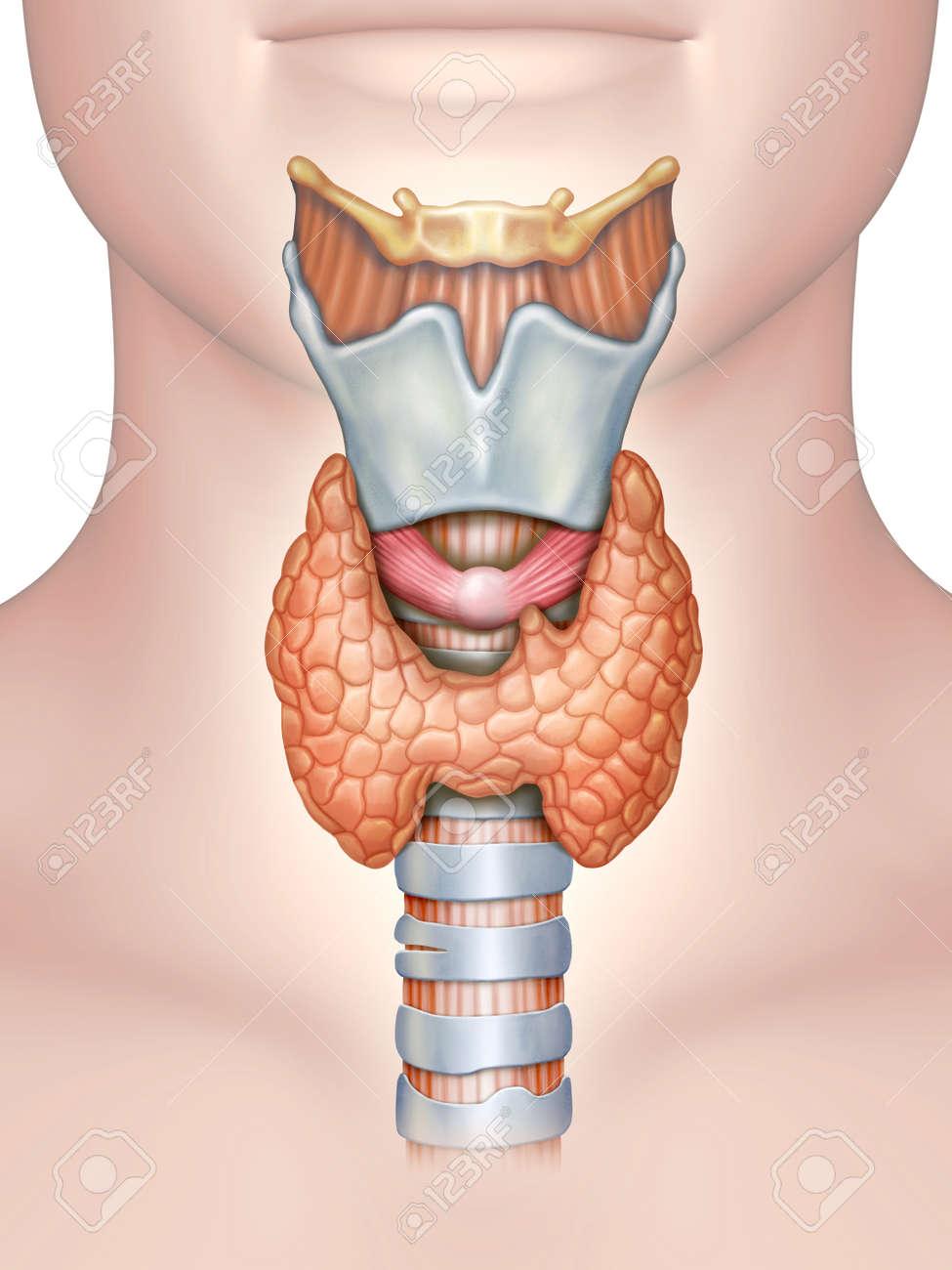 Anatomy Of The Thyroid Gland. Digital Illustration. Stock Photo ...