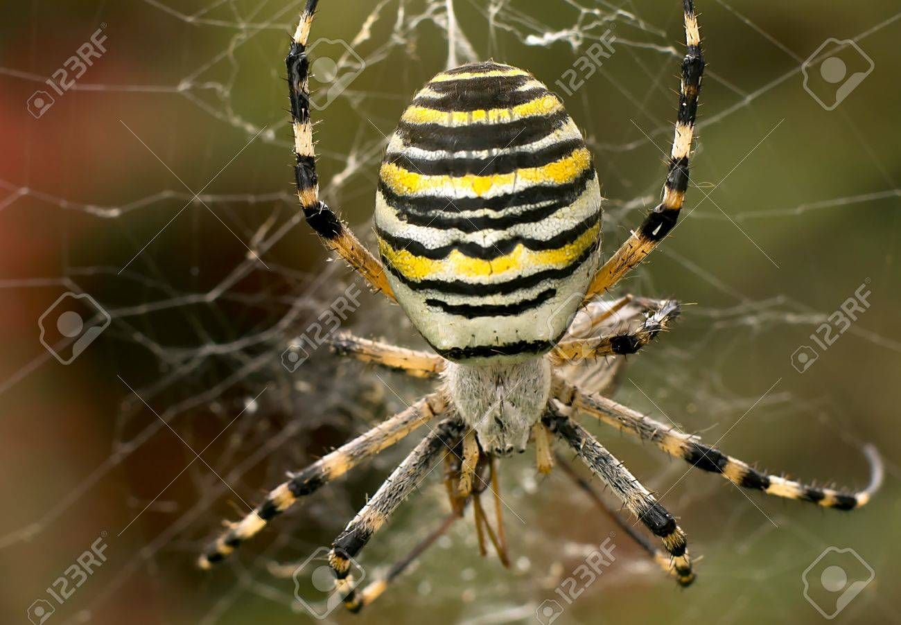 Macro of female wasp spider in her cobweb Stock Photo - 23301281