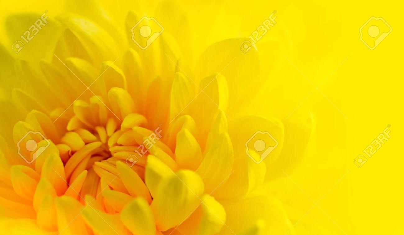 Marco shot of a yellow chrysanthemum with yellow background Standard-Bild - 11963219