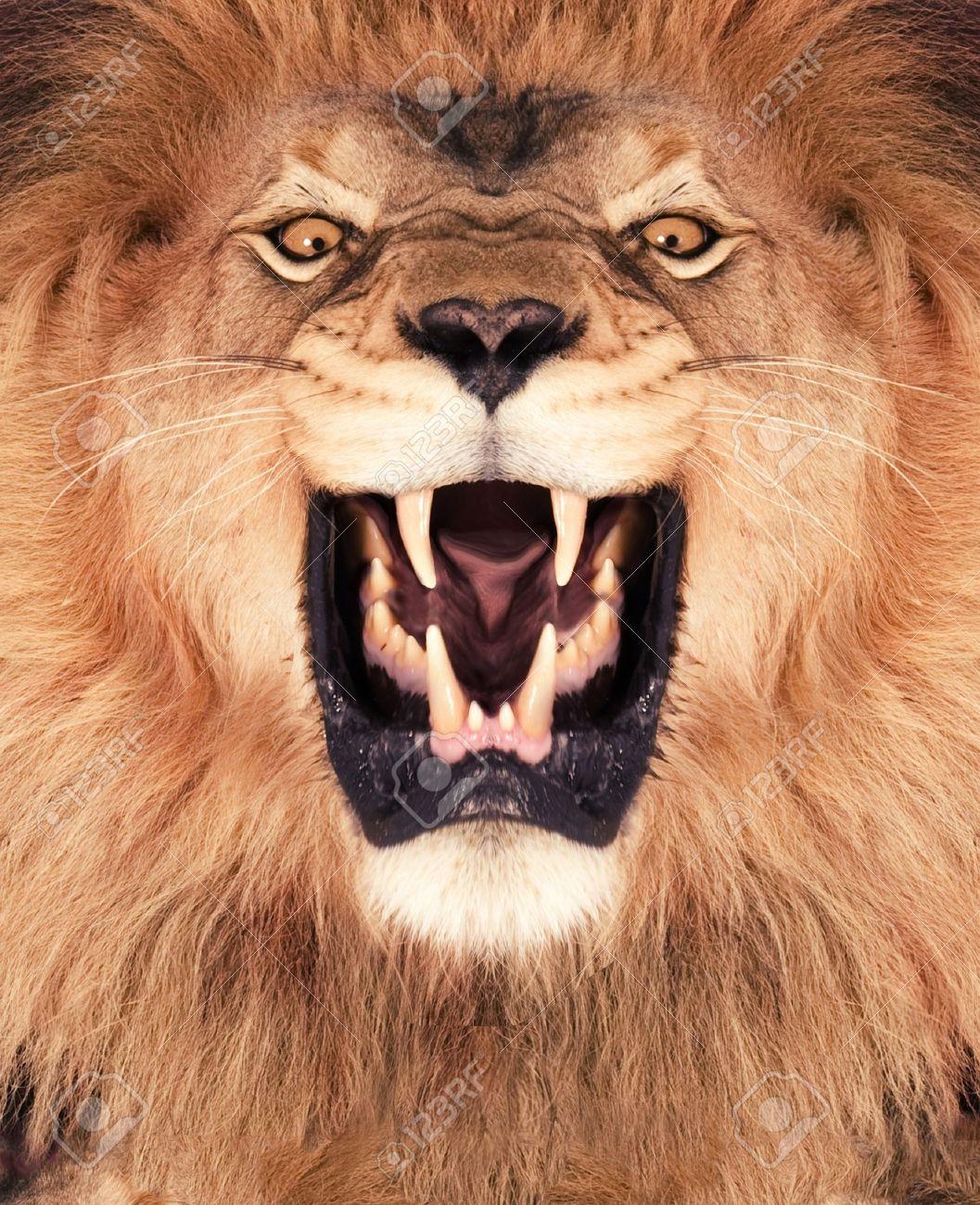 Direkte frontalen eines brüllenden Löwen Standard-Bild - 12928184