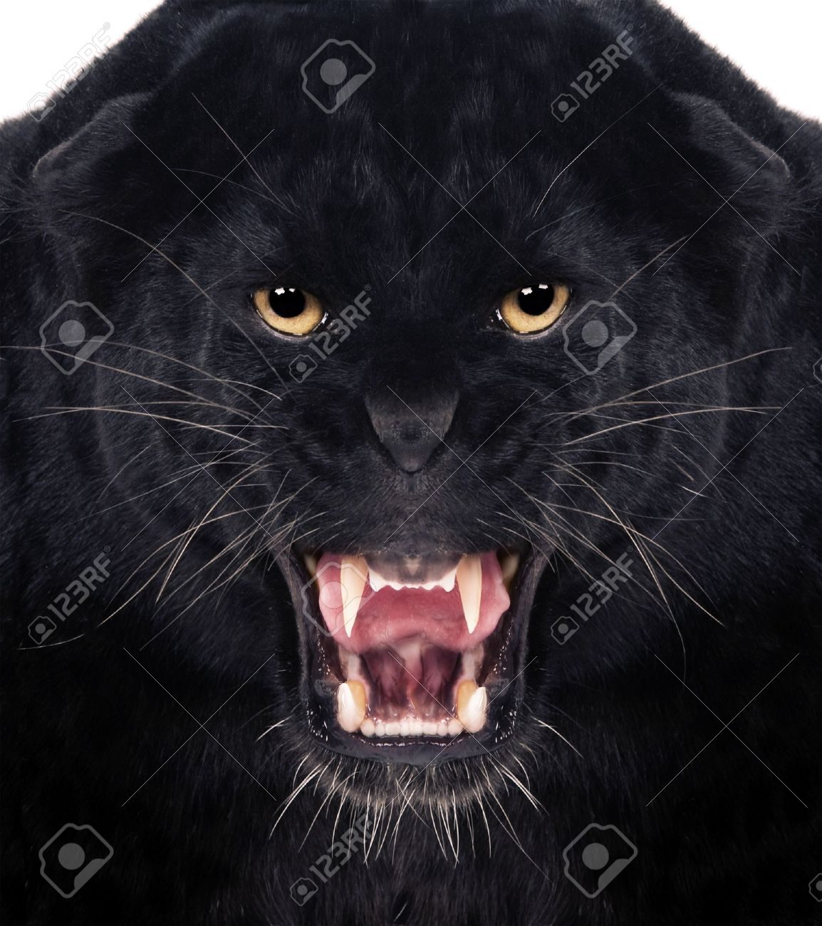Direct frontal shot of a Black Leopard snarling with isolated background, Stock Photo - 12928187