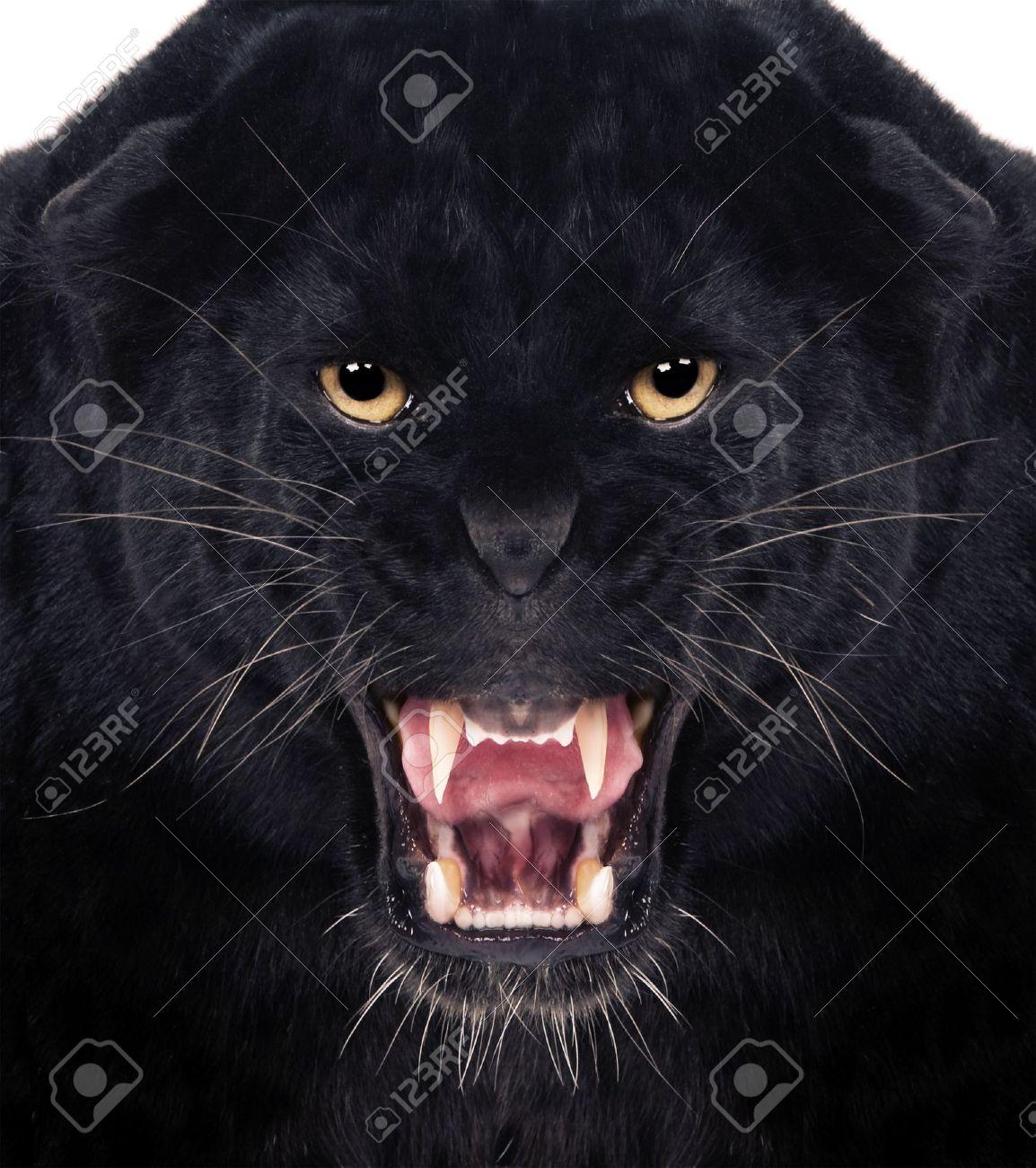 Direkte frontalen eines Black Leopard knurrend mit weißem Hintergrund, Standard-Bild - 12928187