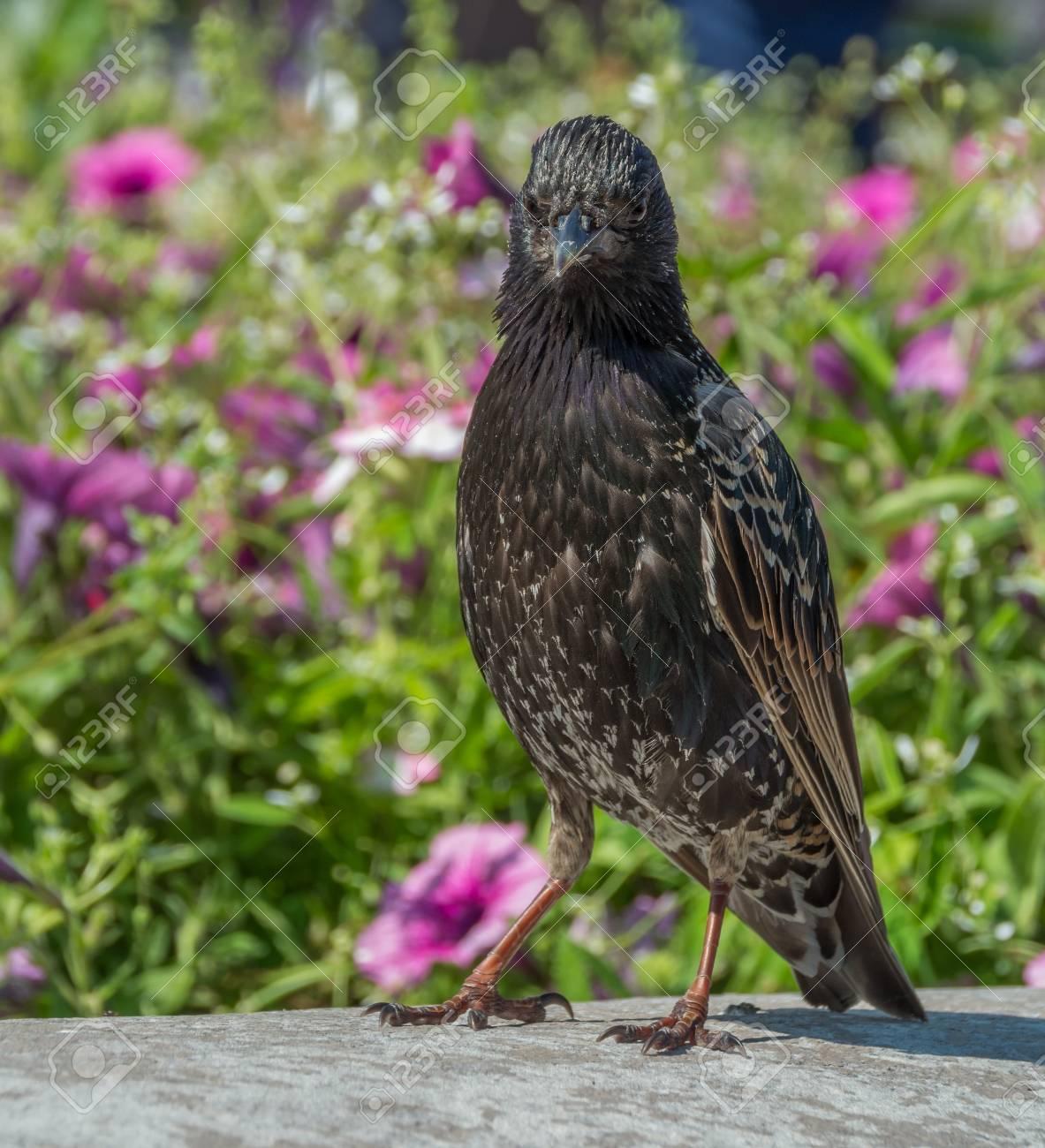 Common Starling Sturnus Vulgaris Walking In Garden Pink Flowers