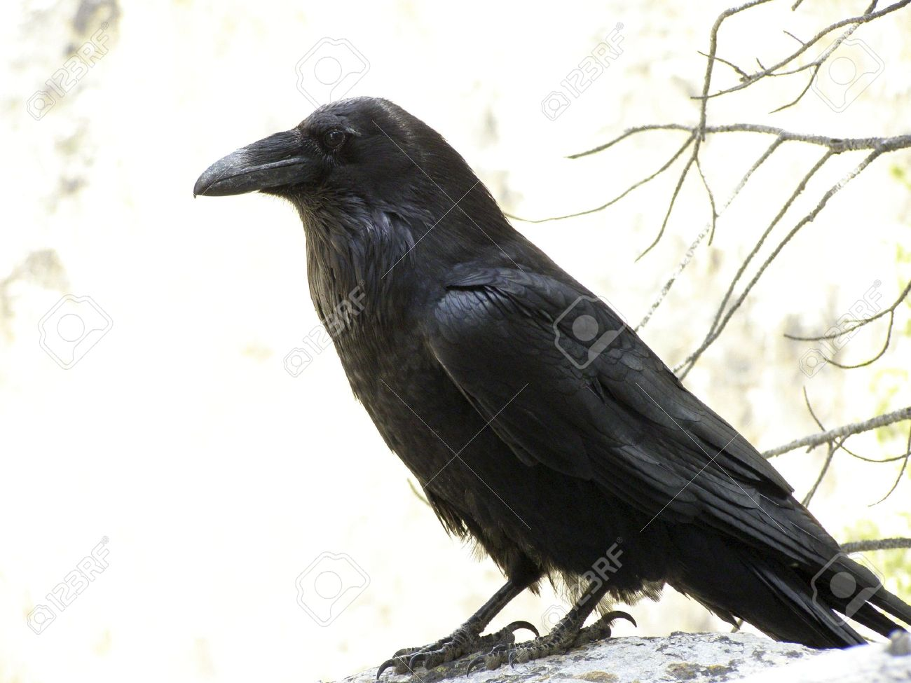 Raven Stock Photos. Royalty Free Raven Images And Pictures
