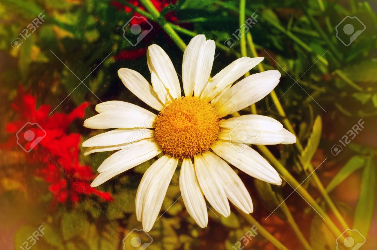 Large Daisy Flower Stock Photo Picture And Royalty Free Image