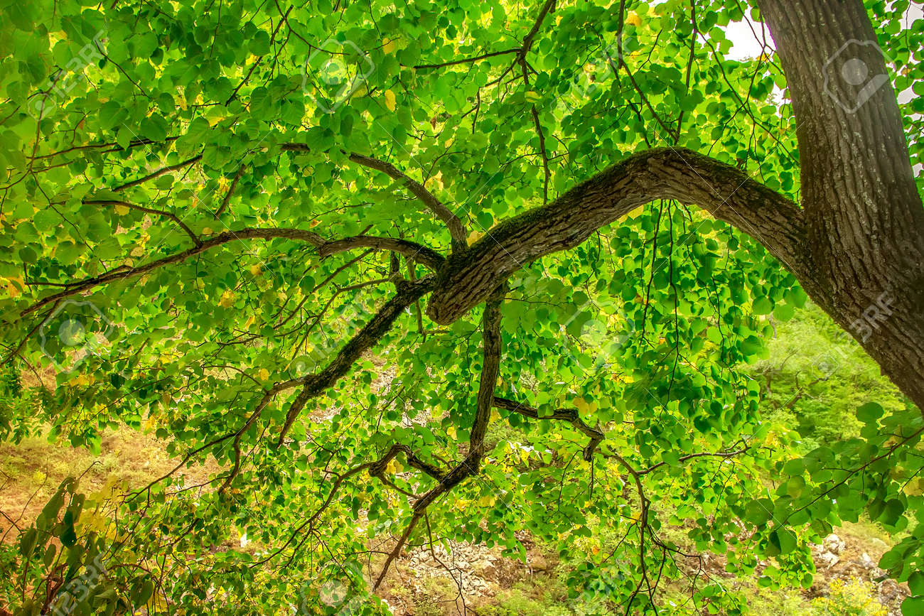 Bright green leaves on the tree. Tree branch - 149778344