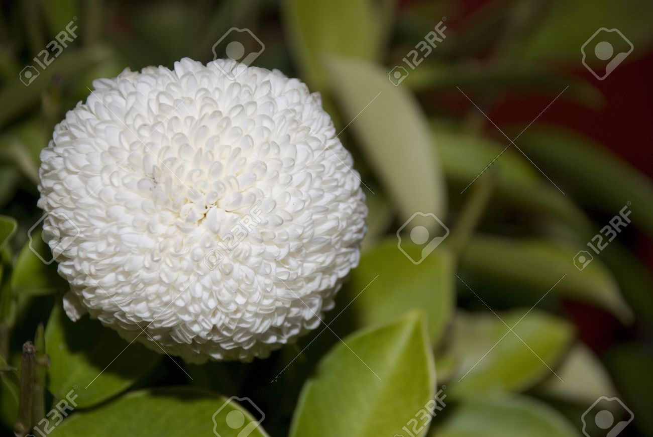 One white cotton ball look alike flower stock photo picture and one white cotton ball look alike flower stock photo 3651363 mightylinksfo